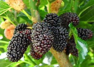 wiki-Mulberrys