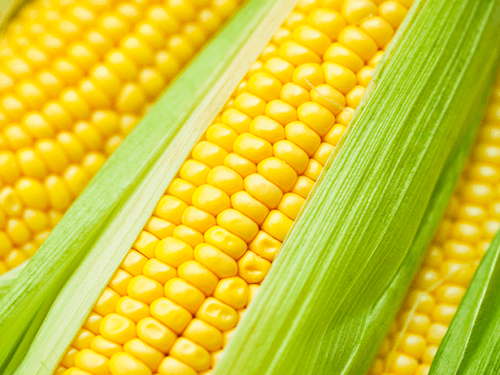 Corn/ Maize