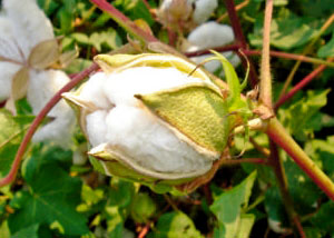 Pakistan Cotton Crop Survey
