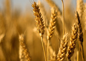 Pakistan Wheat Crop Survey