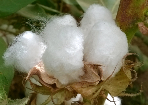 Pakistan Third Cotton Crop Survey 2016-17