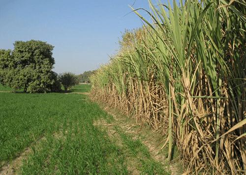 Pakistan Third Sugarcane Crop Survey 2016-17