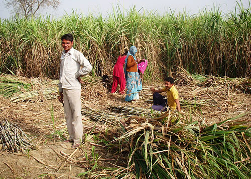 Pakistan Sugarcane Crop Harvesting