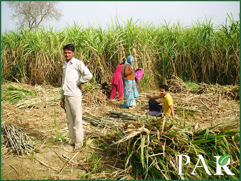 Pakistan Sugarcane Harvesting in Pakistan