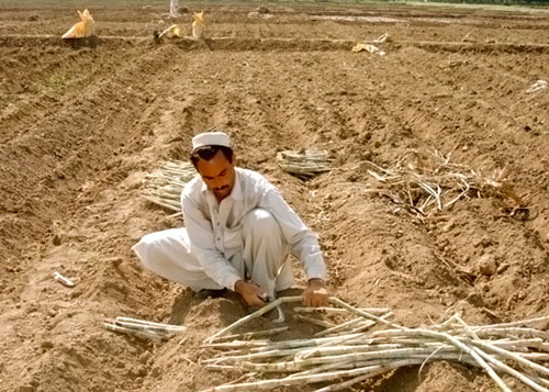 Pakistan Sugarcane Sowing