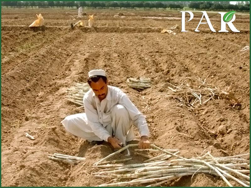pakistan sugarcane sowing