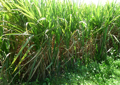 Pakistan Sugarcane Weedicide Rates