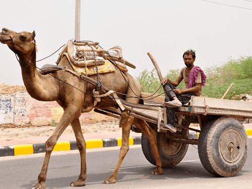 camel carts agri transportation