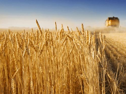 International Wheat Crop Varieties