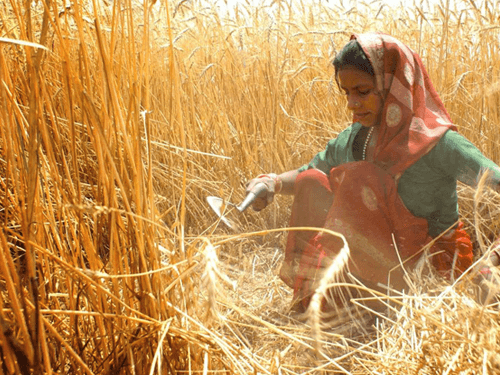 Pakistan Wheat Crop Harvesting