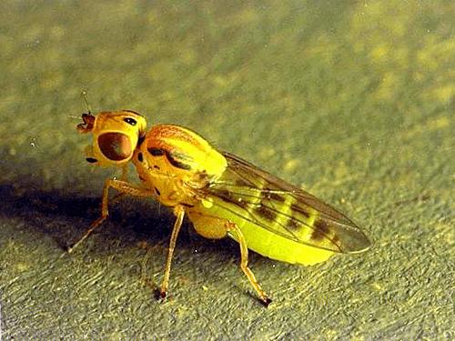 wheat stem maggot
