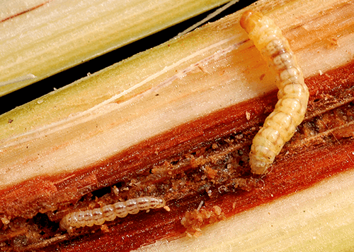 sugarcane insects early shoot borer
