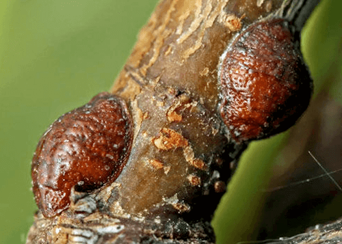 sugarcane insects scale
