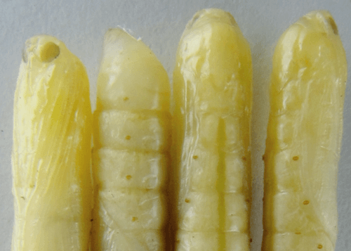 sugarcane insects top shoot borer